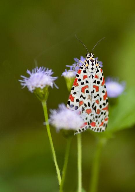 moth mot prachtbeer arctiidae