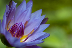 Water lily - Waterlelie (1/3)