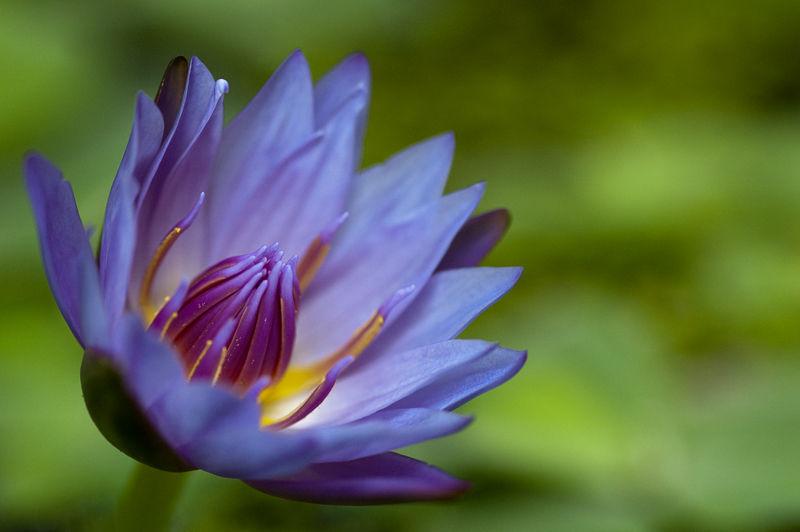 water lily waterlelie flower