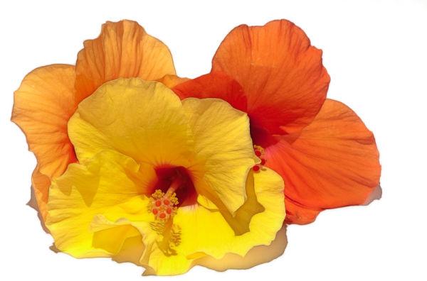 hibiscus flower bloem