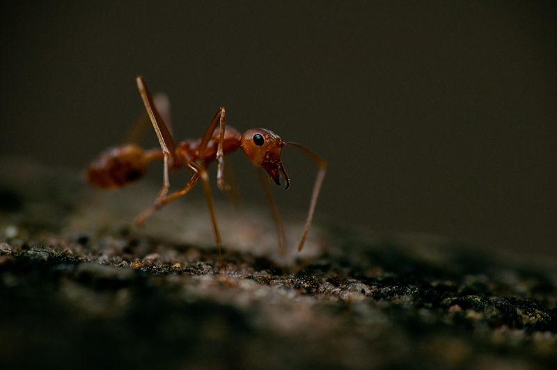 mier red weaver ant close-up macro red rood