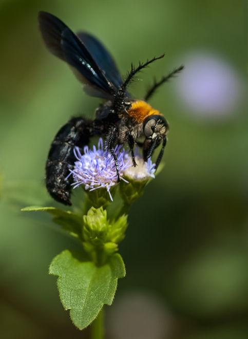 macro scoliid wasp dolkwesp thailand