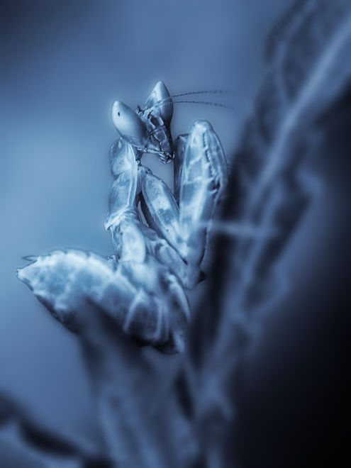 nymph flower praying mantis