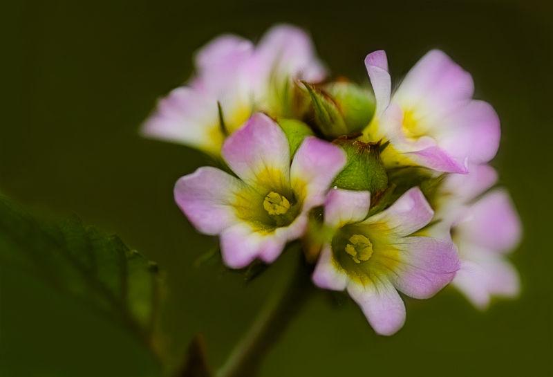 macro of a pink flower