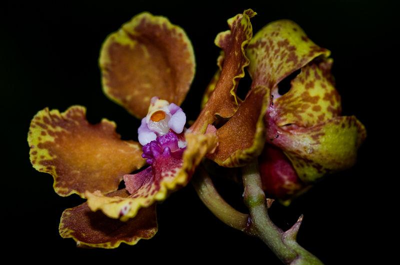 macro flower vanda orchid