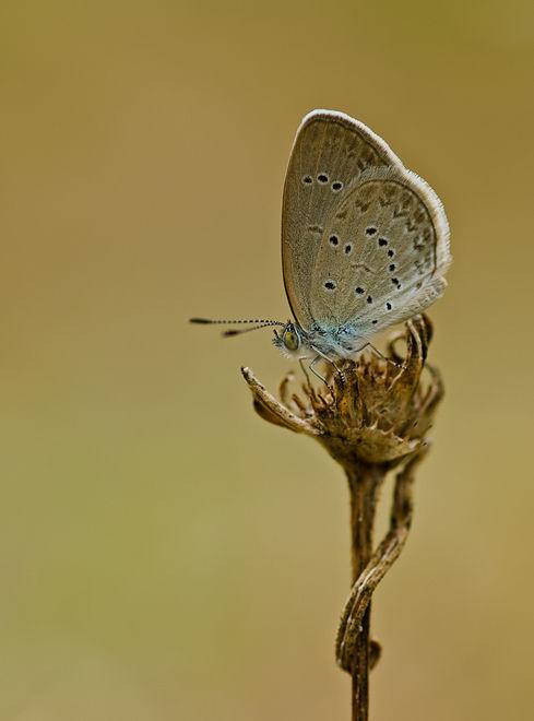 pygmy grass blue