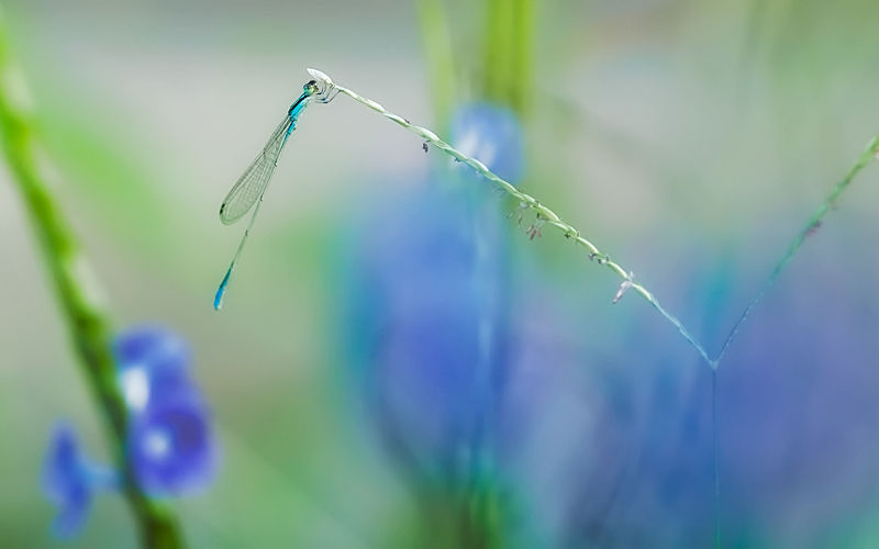 damselfly insect macro