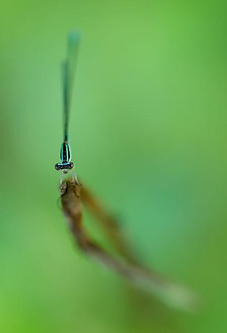 damselfly insect macro