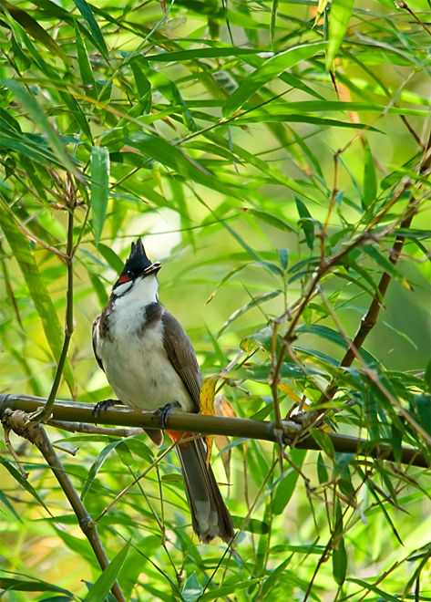 red-whiskered bulbul roodoorbuulbuul
