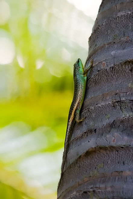 emerald tree skink smaragdskink