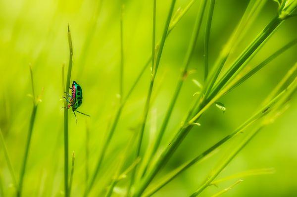 jewel bug Scutellaridae