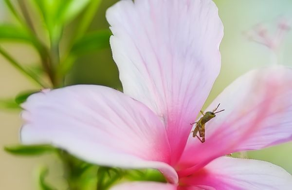 nymph grasshopper inside pink hibiscus