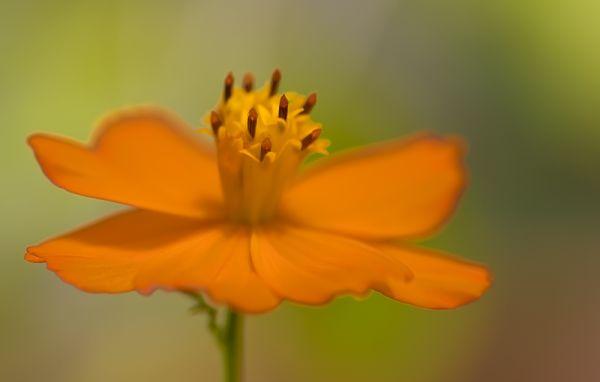 orange cosmea cosmos