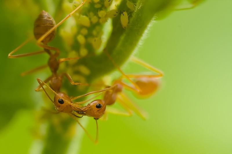 trophallaxis ants