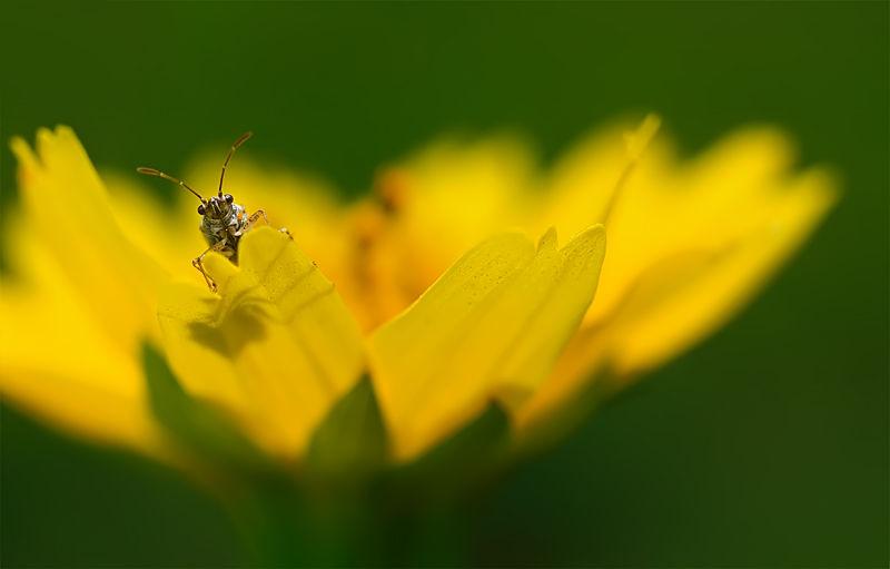 shield bug in yellow flower