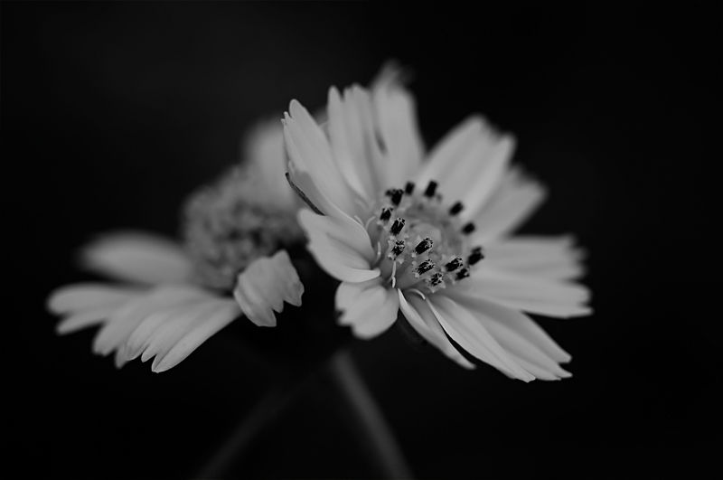 creeping daisy black and white