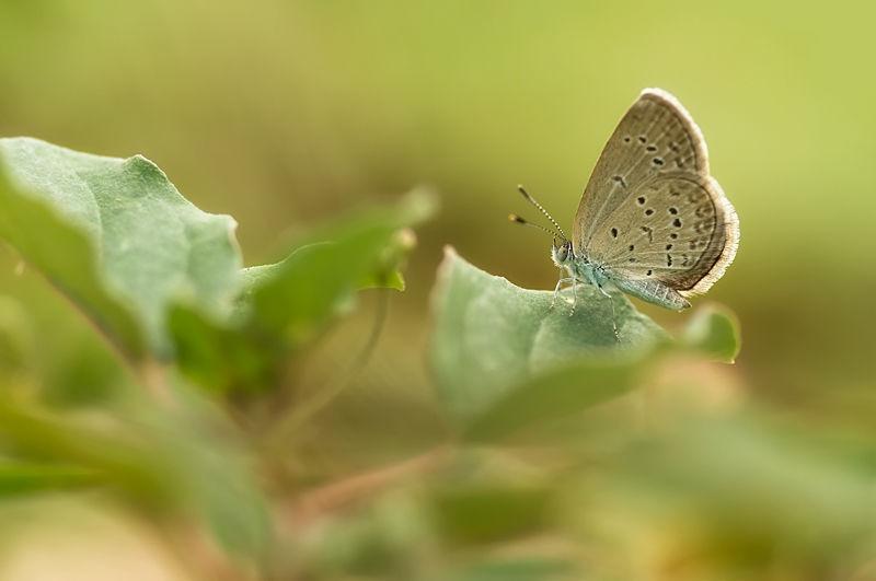 butterfly lesser grass blue