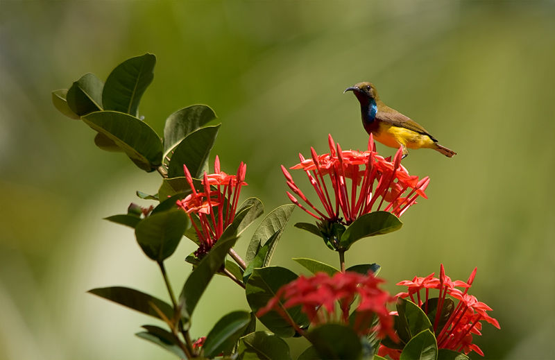 olive backed sunbird on jungle flame