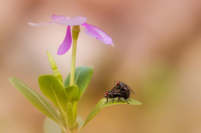 mating flies on pink flower