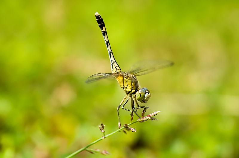 obelisk posture dragonfly