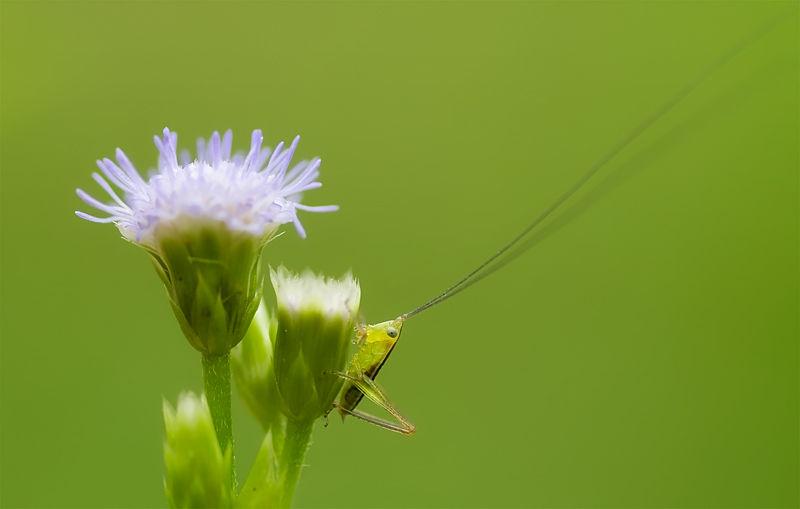 nymph bush cricket