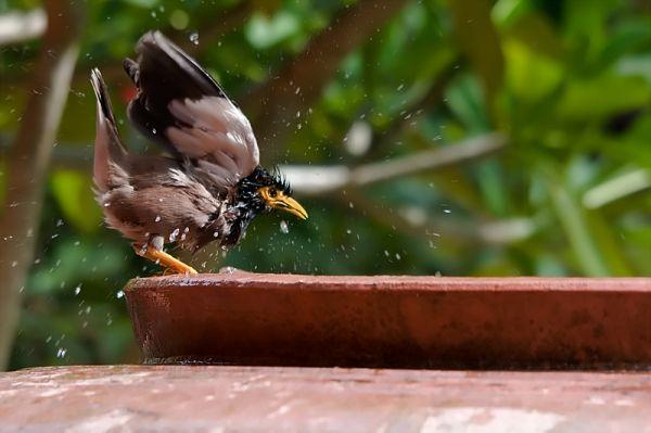 myna bird taking a baht