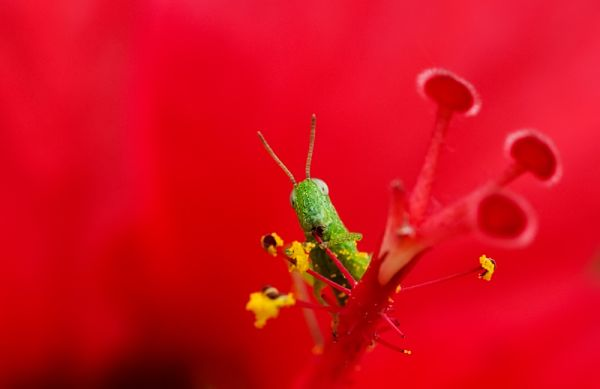 grasshopper hibiscus