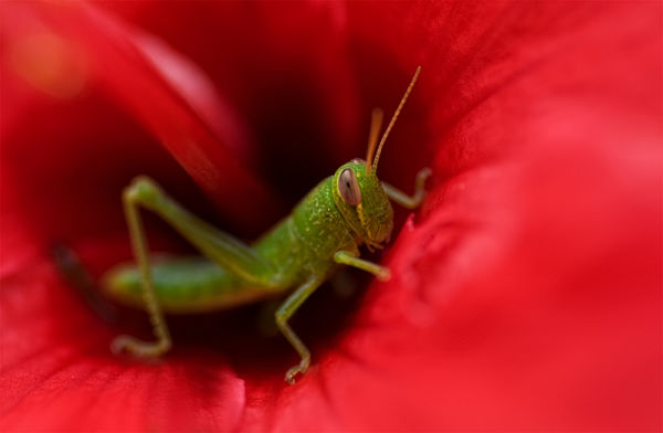 grasshopper inside red hibiscus