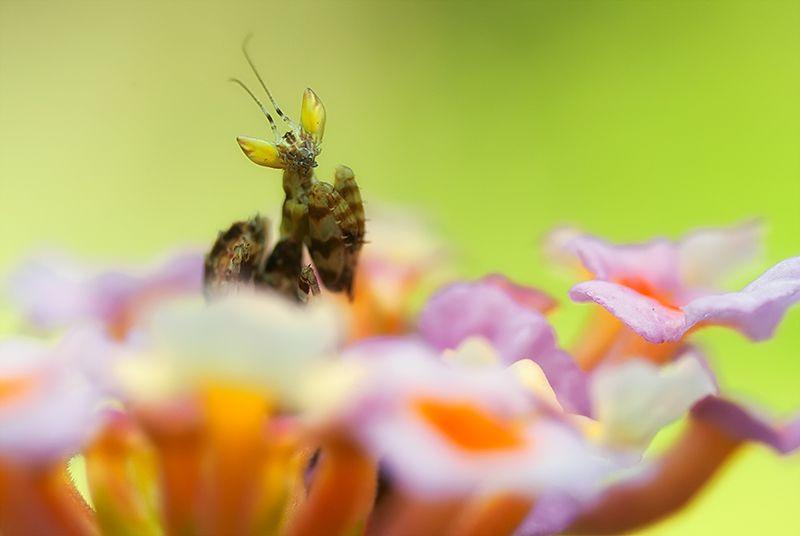Flower mantis nymph on pink lantana