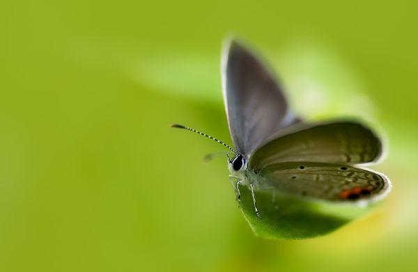 gram blue butterfly euchrysops cnejus