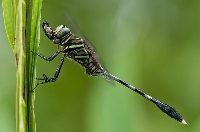 slender skimmer versus robber fly orthetrum sabina