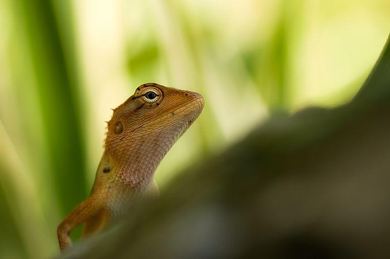 garden fence lizard calotes versicolor