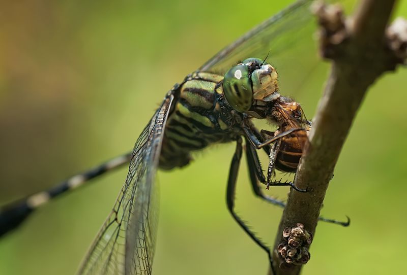 dragonfly with prey