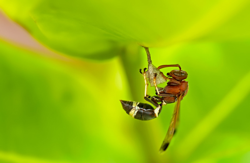 paper wasp building a nest