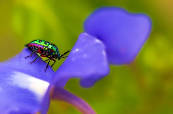jewel bug Scutelleridae