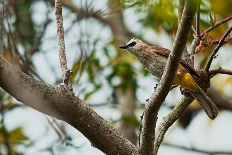 yellow-vented bulbul Pycnonotus goiavier