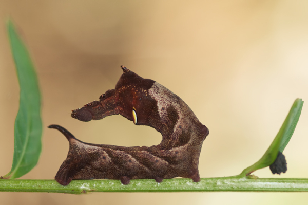 caterpillar larvae