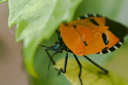 Man-faced Stinkbug