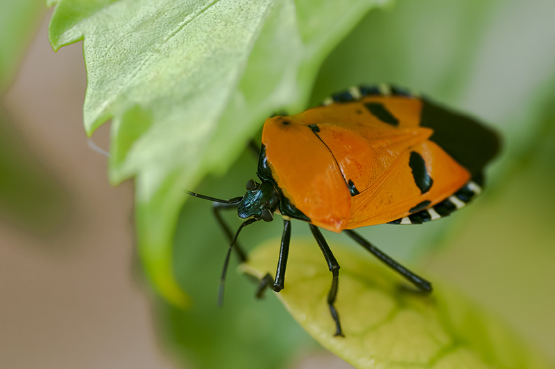 man-faced stinkbug catacanthus incarnatus