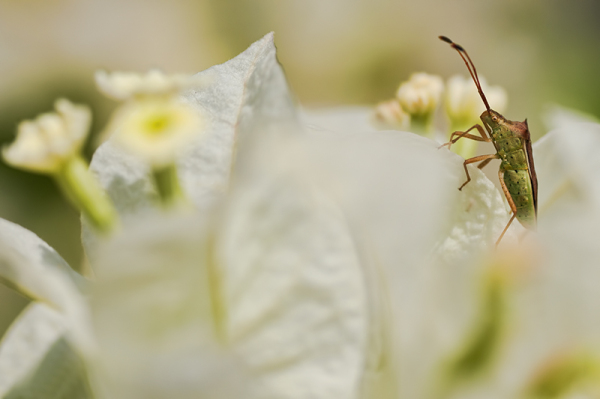 bug in white bougainvillea