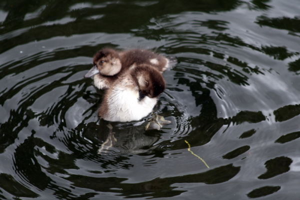 Preening on the water.
