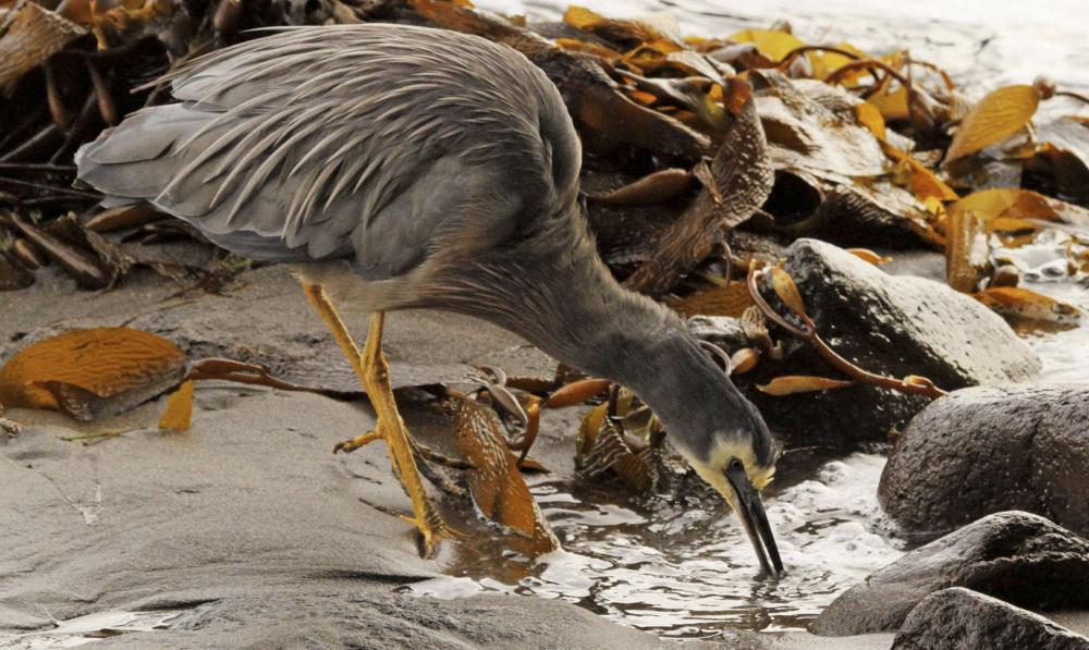 Heron Feeding