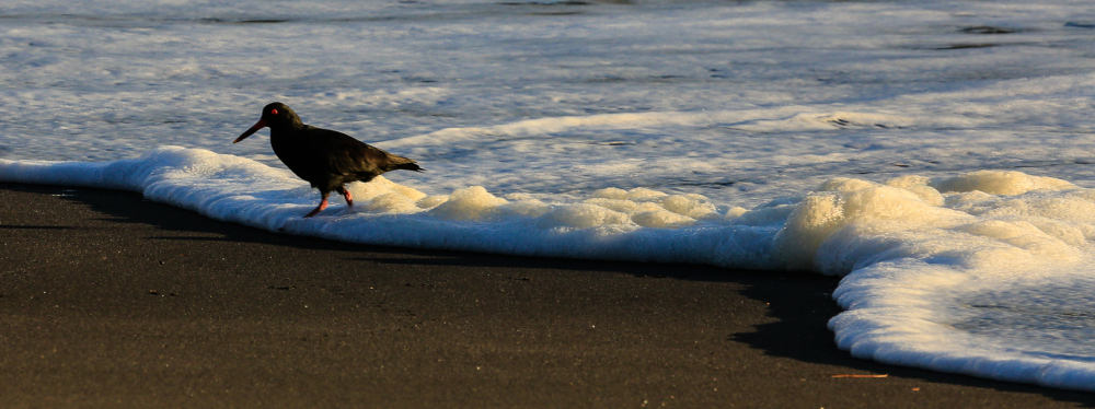 Wave Caught Oyster Catcher!