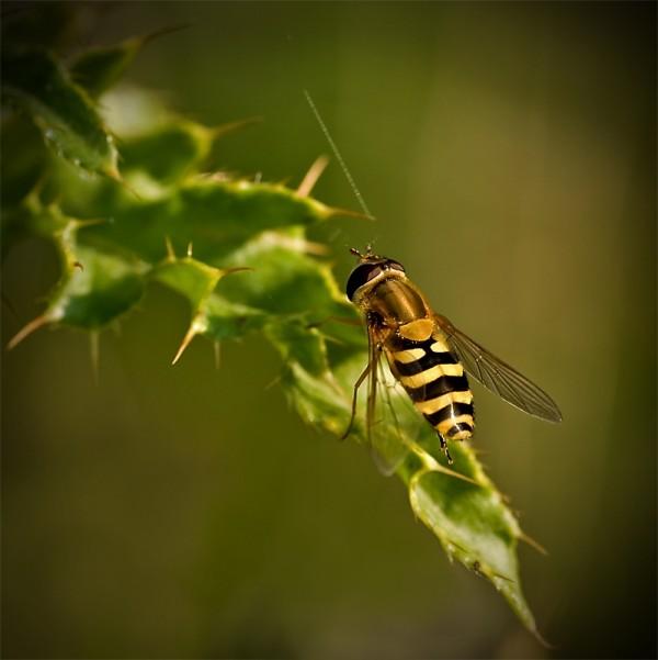 Hoverfly, macro