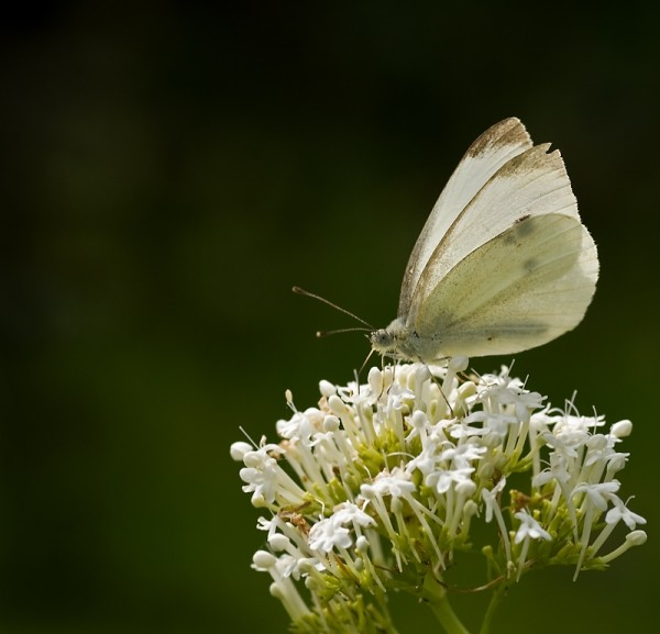 Large White, Butterfly