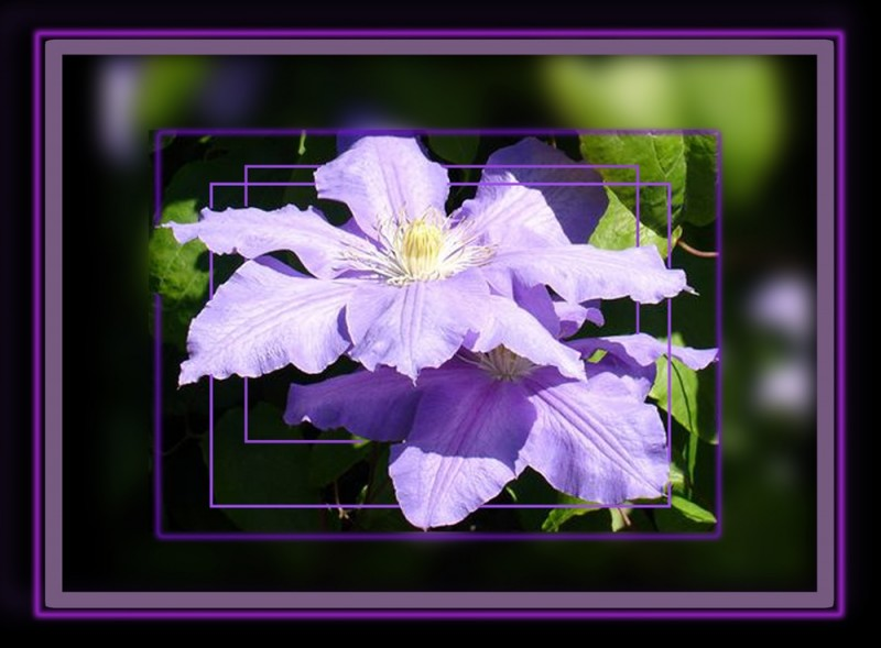 Clematis in Frames