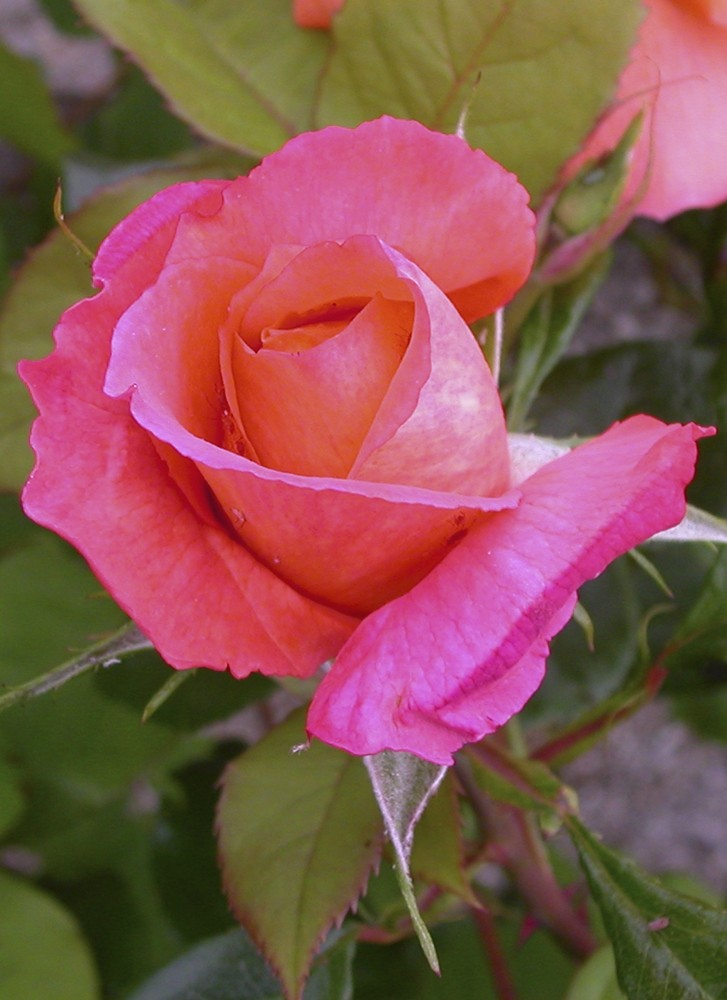 The beauty of the Rose