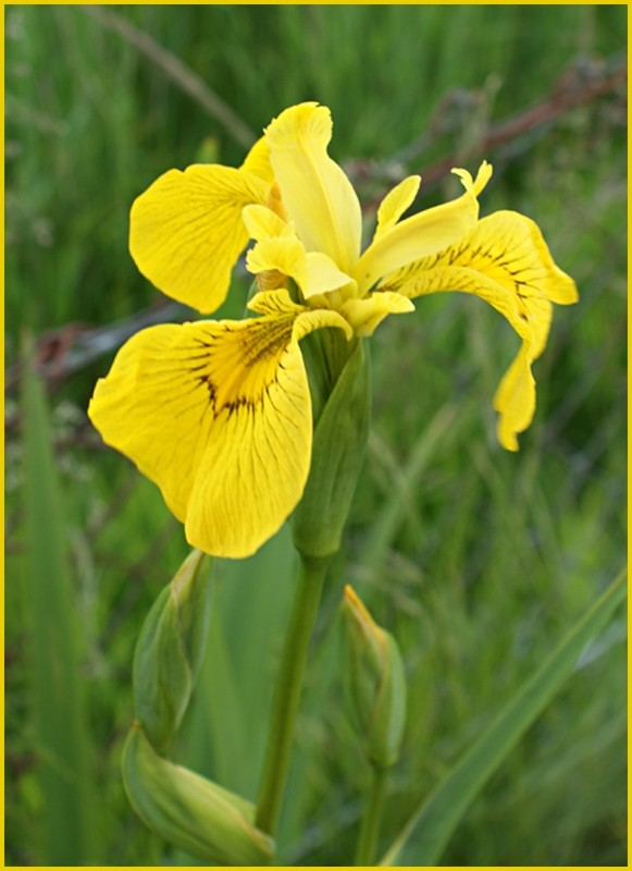 Yellow Iris in my Garden