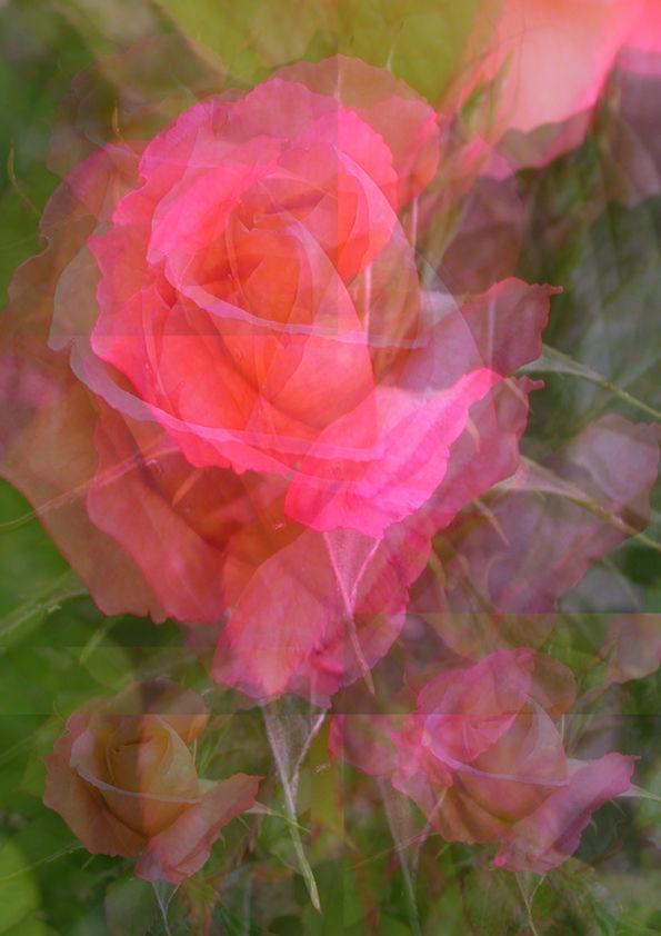 Rose montage