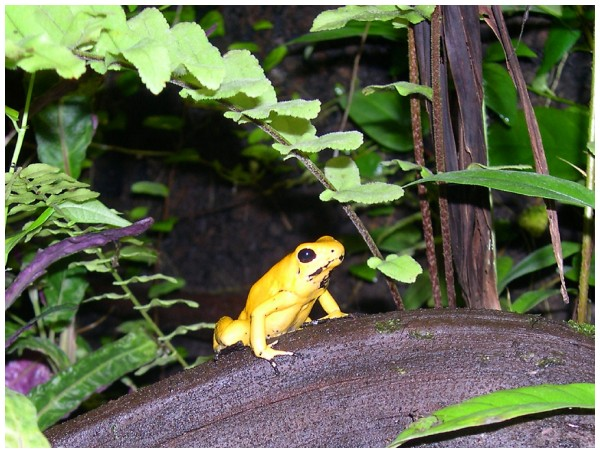 Poison arrow frog - Dendrobates terribilis